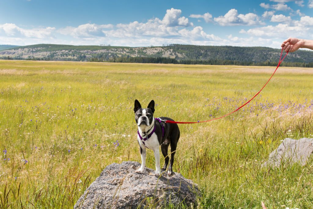 Dog in Yellowstone National Park.